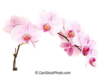 A stem with eight beautiful orchids flowers for white background.