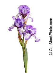 Stem of purple iris flowers isolated on white - Stem of ...