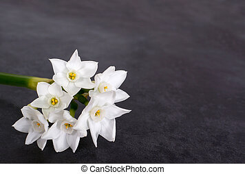 Stem of white narcissus with six flowers