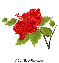 Stem red hibiscus tropical flower on a white background vintage vector.eps
