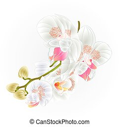 Stem with flowers and  buds beautiful  Orchid white Phalaenopsis vector.eps