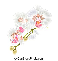 Stem with flowers and  buds beautiful orchid white  vector.eps