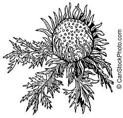Stemless carline (Carlina acaulis) - Branch of Stemless...