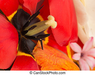 stempel, und, stamens, von, rote tulpe