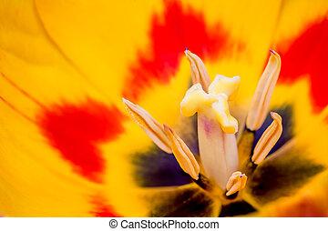 stempel, von, a, tulpenblüte