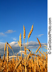 stems of the wheat in sunset light