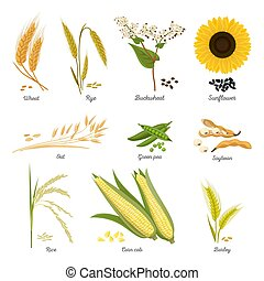 Set of isolated harvest stems or twigs of seed plant. Wheat and rye, buckwheat blossom and sunflower, oat and green pea, soybean and rice, corn cob and barley. Food and nutrition, cereal, agriculture