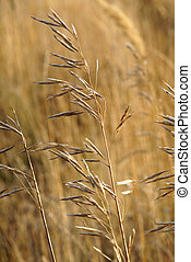 Stems of wild oats