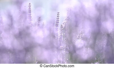 Stems with lavender flowers sway in the wind