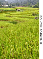 Step paddy field, Chiang Mai, Thailand