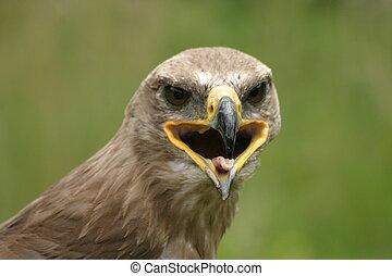 steppe, águia