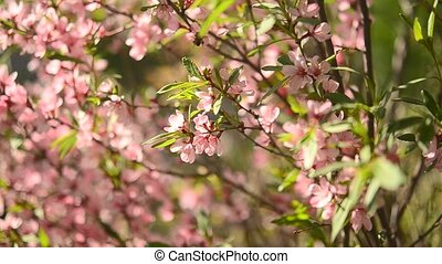 steppe almond blossom pink flowers.