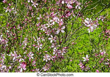 Steppe, Blühen, Mandel, busch