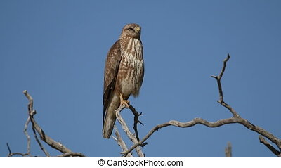 Steppe buzzard in a tree - Steppe buzzard (Buteo buteo)...