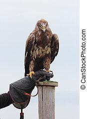 Aquila nipalensis - steppe eagle, Aquila nipalensis bird of ...