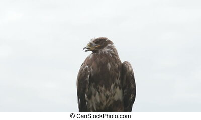 eagle - steppe eagle, Aquila nipalensis bird of prey