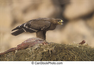 Steppe eagle, Aquila nipalensis, single bird on ground, Oman