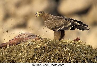 Steppe eagle, Aquila nipalensis, single bird on carcass, ...