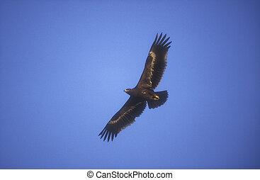 Steppe eagle, Aquila nipalensis, single bird in flight, Oman
