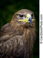 steppe eagle Aquila nipalensis - close-up of a steppe eagle...