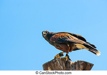 Steppe eagle on the top of a wooden tree log