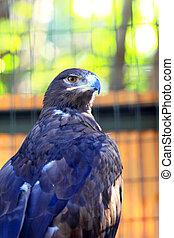 Steppe Eagle (Aquila nipalensis) close-up