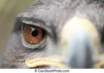 Steppe Eagle - The Steppe Eagle is a bird of prey