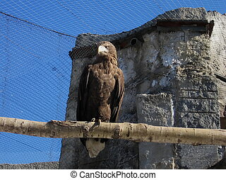 Steppe eagle - Strong steppe eagle sits on a log in Moscow...