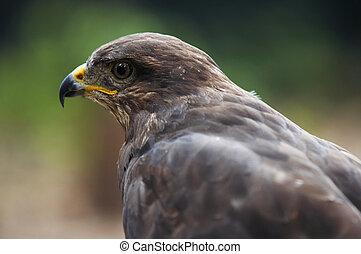 steppe eagle - Shot of the bird of prey - steppe eagle