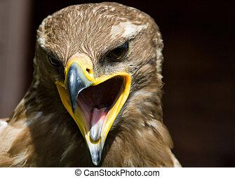 steppe eagle - close-up of a steppe eagle (Aquila...