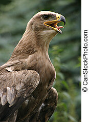 Steppe eagle - Beautiful bird of prey
