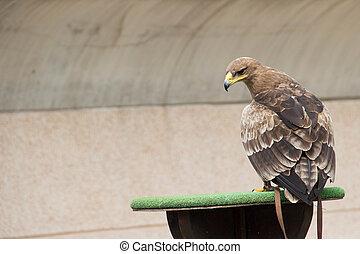 Steppe Eagle - Steppe eagle in falconry training
