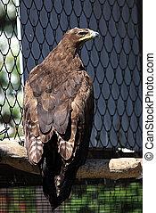 Steppe eagle. - Steppe eagle (Aquila rapax).