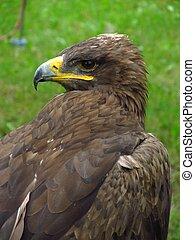 Steppe eagle - Portrait of steppe eagle