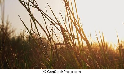 Steppe grass fluttering in warm sunset light, copyspace