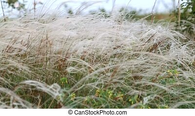 steppe of white feathergrass - steppe feather grass swaying...