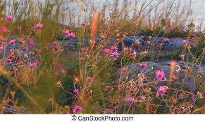 Steppe plants small violet flowers on rocky coast and sea...