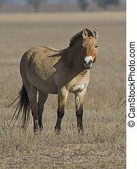 steppe., przewalski's, pferd, herbst