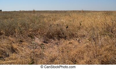 Steppe with dry grass blown by wind in late summer or early...
