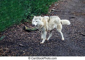 steppe wolf outdoor closeup