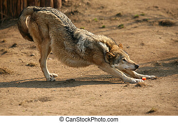 Steppe wolf - The wolf of steppe smells carrots. Zoo in...