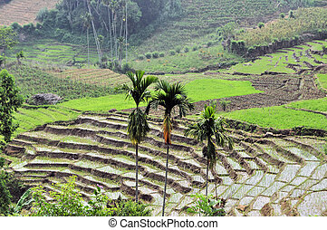Stepped Rice terraces in South Asia - Stepped rice terraces...