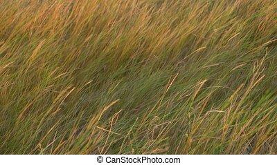 Steppen grass on wind