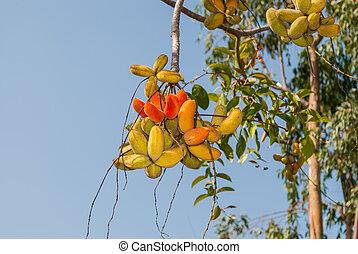 Sterculia guttata Roxb Tree