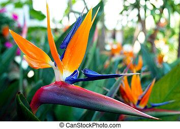 """Sterlitzia reginae flower detail, know as """"Bird of paradise"""""""