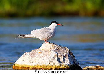 Sterna hirunda (Common tern)