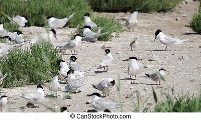 Sterna hirundo large group with chicks - Sterna hirundo and ...
