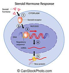 Steroid hormones action, eps10