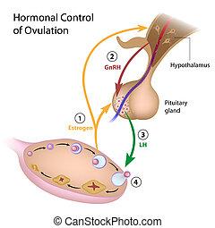 steuerung, hormonal, ovulation
