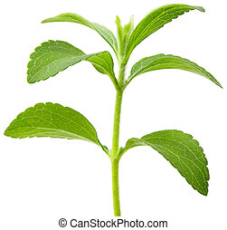 Full focus of Stevia rebaudiana, sweetleaf sugar substitute cutout
